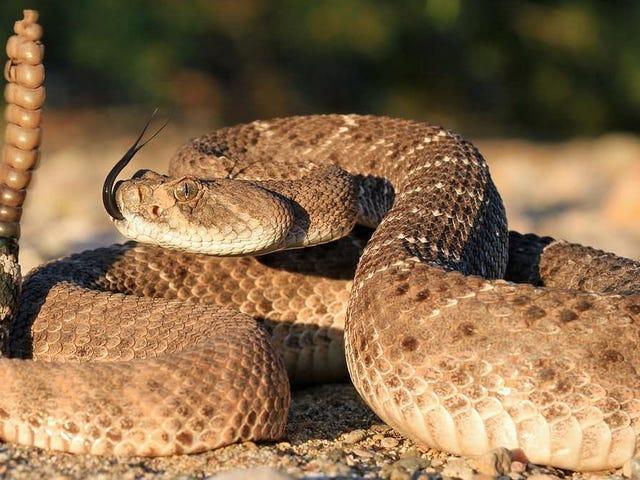Snake Venom Didn't Evolve for Self-Defense, New Study Finds