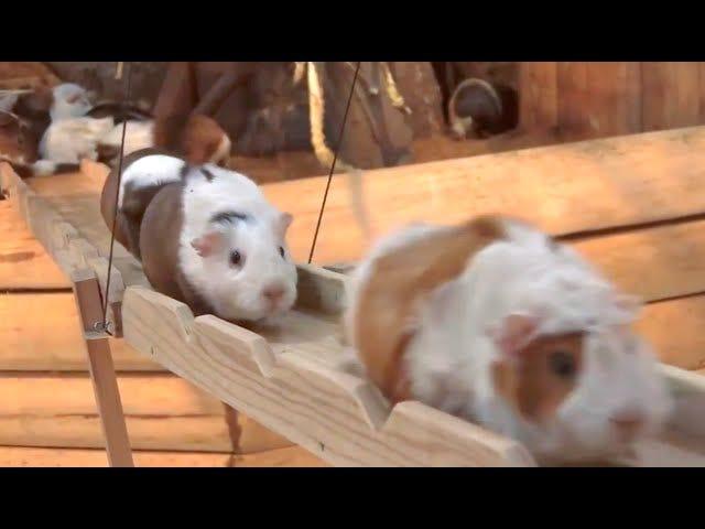 Her er den vigtigste guinea pig transport video, du vil se