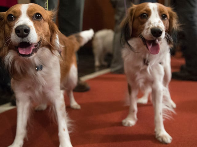 Good Luck Trying to Pronounce the Names of the American Kennel Club's Newest Dog Breeds