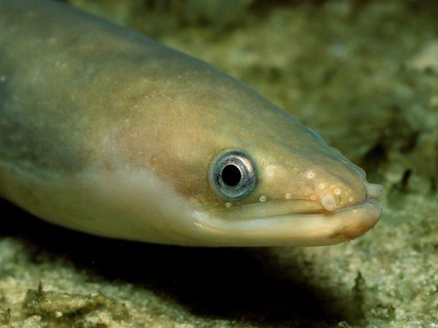 Los altos niveles de cocaína en el río Támesis de Londres están volviendo hiperactivas a las anguilas