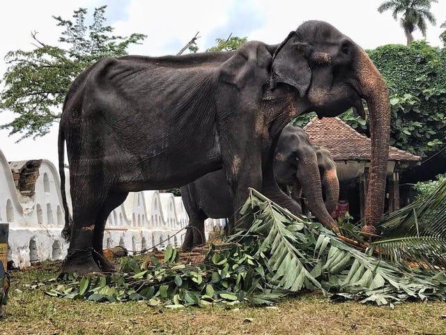 La imagen de un elefante demacrado obligado a actuar en un desfile en Sri Lanka conmociona al mundo