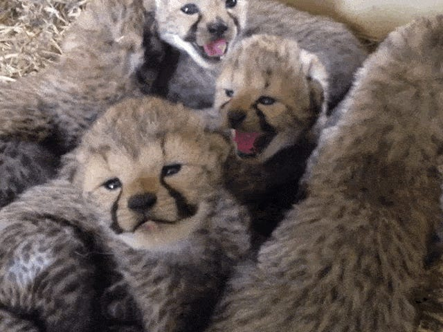 These Cheetah Babies Are Trying to Chirp [Updated]