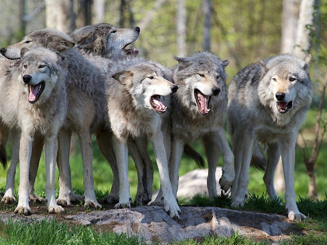 What Happens to Wolves When They're Raised Like Dogs?