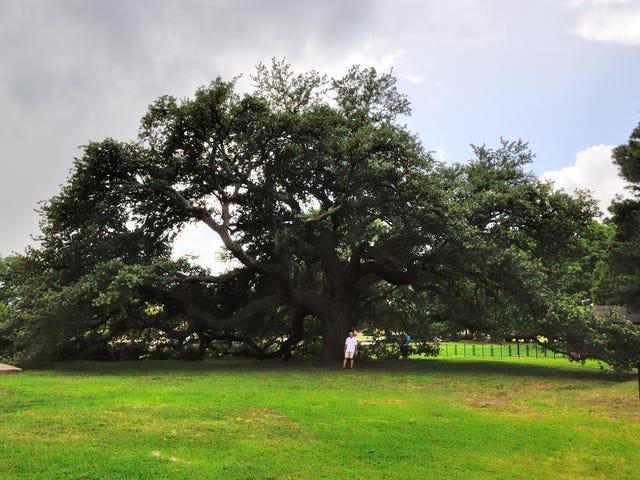 Hampton Universityn Emancipation Oak, jota uhkaa valtatien laajennus