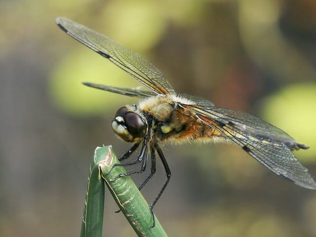 How theDragonfly's Surprisingly ComplexBrain Makes ita Deadly Hunter