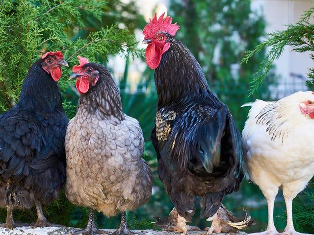Si creías que las palomas son molestas, imagina vivir en una isla infestada de pollos salvajes