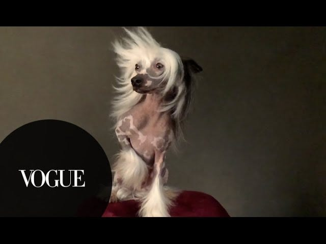 <i>Vogue</i> Liputan Pameran Westminster Dog Is Literally the Holy Grail