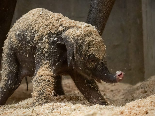 Adorable Newborn Asian Elephant Is Helping Save Her Species