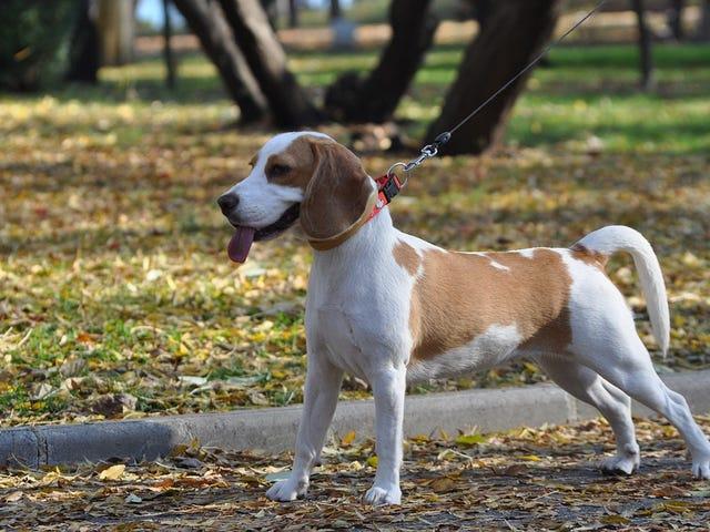5 peligros comunes a tener en cuenta cuando paseas a tu perro, y cómo actuar ante ellos