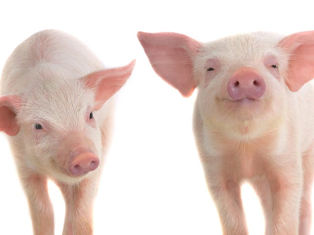 Firefighters Eat Piglets Saved From Farm Fire