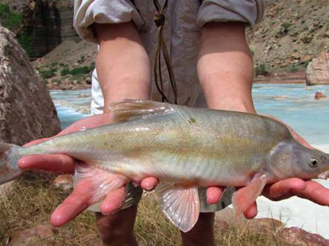 Grand Junction Humpback Chubs Game Postponed, Which Means The Grand Junction Humpback Chubs Will Play A Double-Header Today