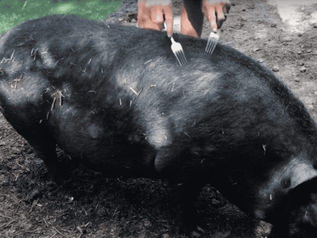 La técnica veterinaria para calmar un cerdo es tan absurda como efectiva: masajearlo con un tenedor