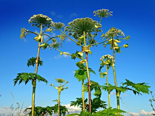 How to Avoid Giant Hogweed, the Plant That Causes Severe Burns