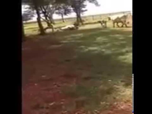 Αγελάδα με κεφαλή, πιθανόν να θανάτου