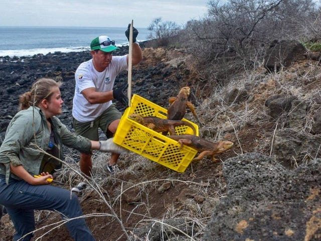 Iguanas Reintroduced to the Largest Galapagos Island After Nearly 200 Year Absence