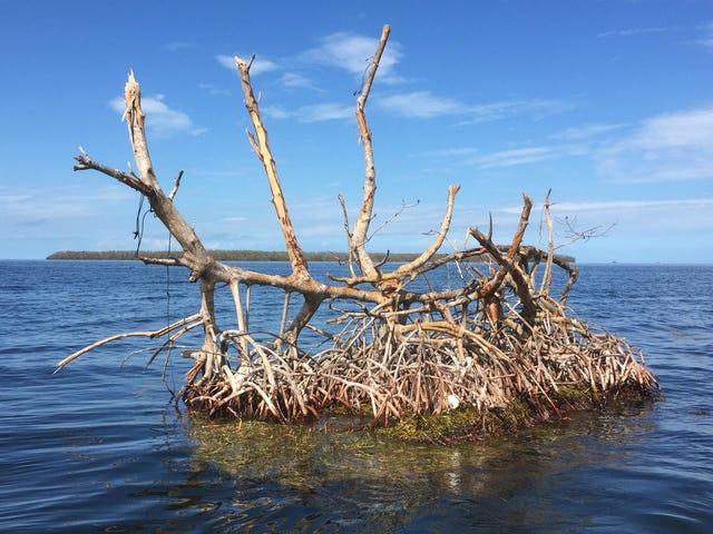Nach Irma zeigen pummeled Everglades Anzeichen von Widerstandsfähigkeit