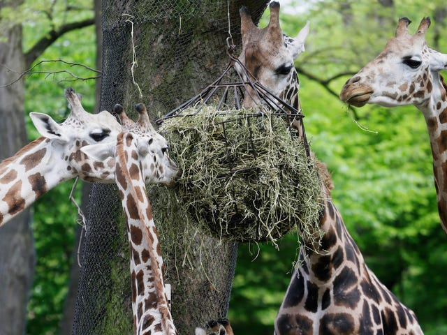 Les girafes ont caché la vérité