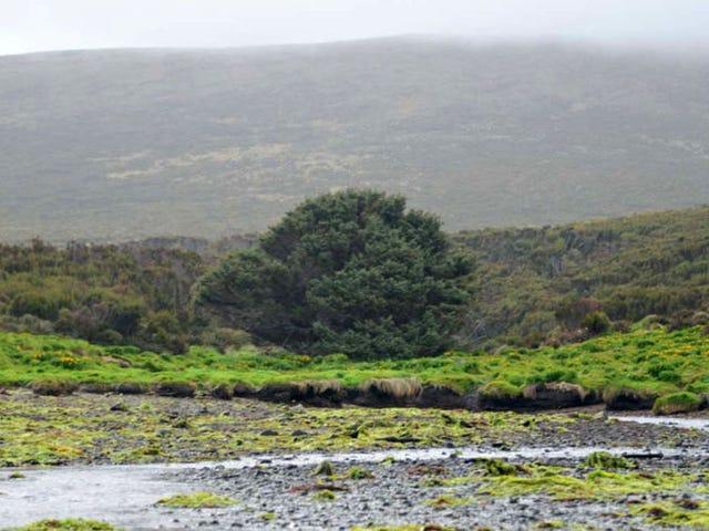 El árbol más remoto del planeta obligará a reescribir los libros de historia