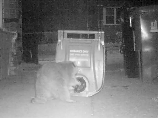 Trash Panda vs. Super Sophisticated German Compost Bin Latch