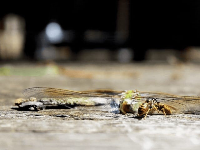 This Footage of Carnivorous Wasps Devouring a Dragonfly Will Make Your Skin Crawl