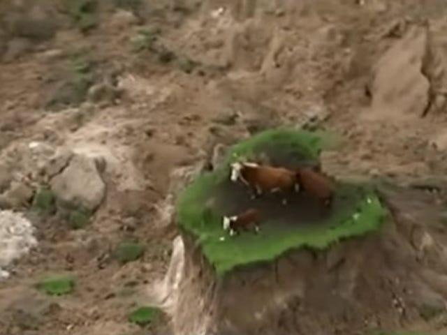 Maanjäristyslehdet Lehmät luhistuvat pieneen ruohonleikkuun