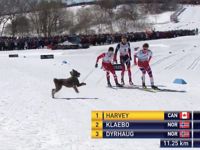 Thrilled Puppy Briefly Joins Cross-Country Ski Race