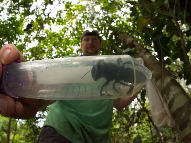Pensábamos que la abeja más grande del mundo se había extinguido, pero se ha encontrado viva (y es gigante)