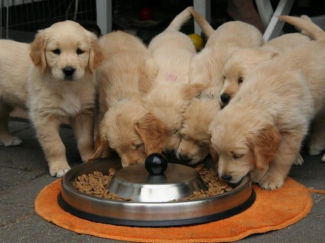 Estados Unidos vincula estas 16 marcas populæres de comida para perros a la enfermedad cardíaca canina
