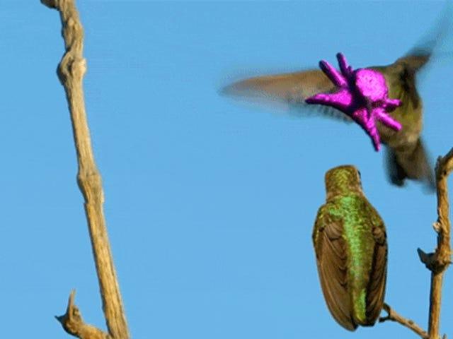 Warum das Heck macht das Gesicht dieses Kolibris wie eine glänzende purpurrote Krake aus?