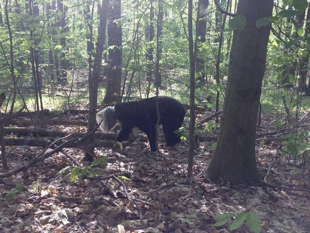 토요일 밤 사회 : 한 달 동안 치즈 퍼프 컨테이너에 갇혀 있던 곰이 이제 좋아 졌어.