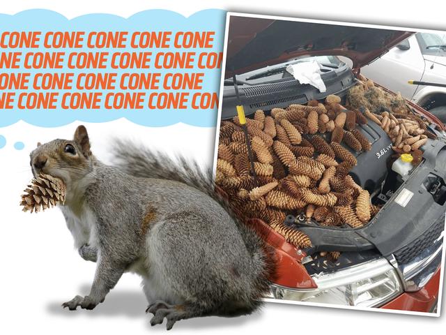 Сосновий конус-Junkie білка наносить більше 50 фунтів соснових шишків у затоку двигуна автомобіля