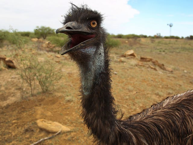 A Mysterious Emu Gene Could Help Humans With Health Abnormalities