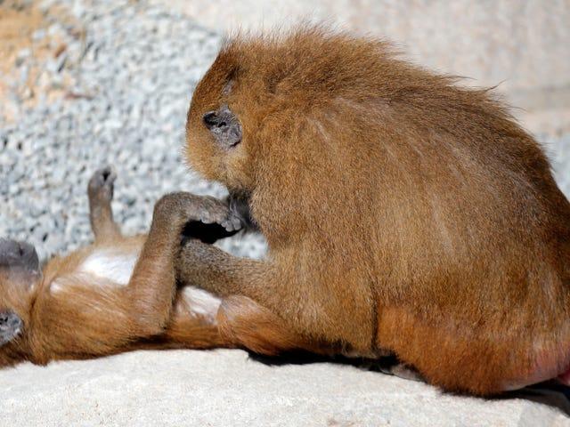 Kebangkitan Zoo Paris 50 Absen Tentera