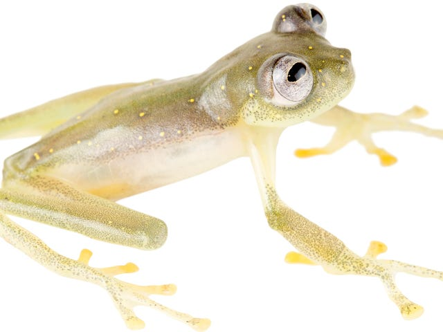 Adorable New See-Through Frog Species Is Threatened By Gold and Copper Mining