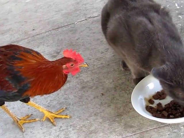 Caturday!  ธีมแมวและไก่!