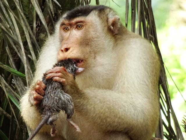 These Rat-Eating Monkeys Are a Surprisingly Effective Form of Pest Control