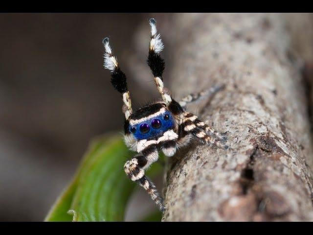 Dashing νέα είδη της Peacock Spider θέλει απλά να πάρει Funky