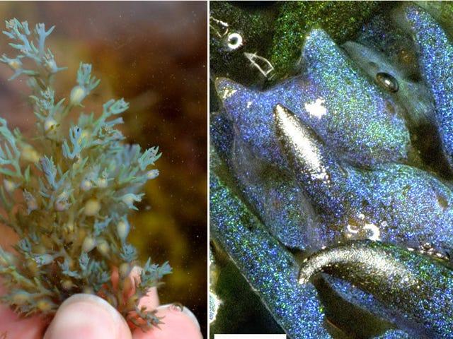 Denna Glitter-Fyllda Algerna är en levande opal