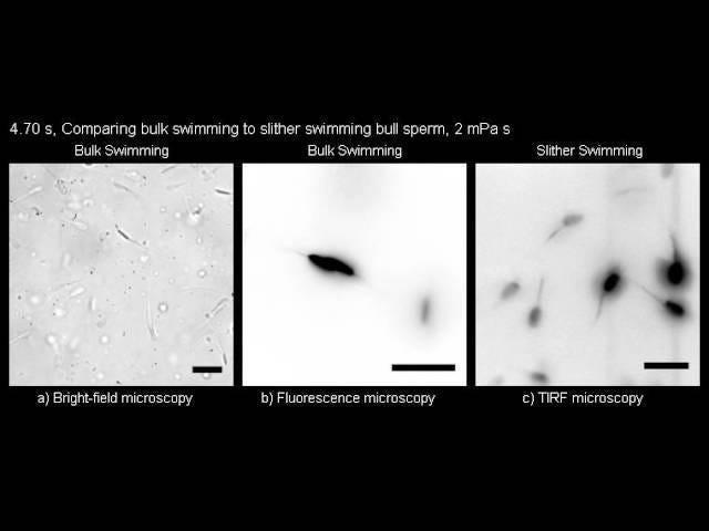 У тісних просторів сперма ковзає швидше за Шіммі