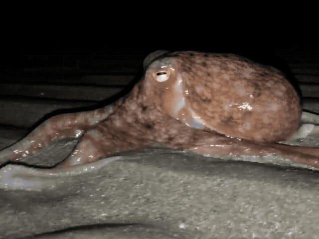 Un grupo de 20 pulpos ha comenzado a salir del agua por las noches en esta playa de Gales y aún no sabe la causa