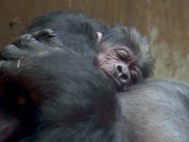 El nacimiento de un bebé gorila en peligro de extinción es el vídeo que necesitas para mejorar tu día