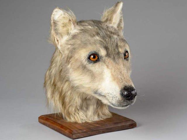 Reconstruyen la imagen de un perro de hace más de 4.000 años. Sigue siendo un buen chico