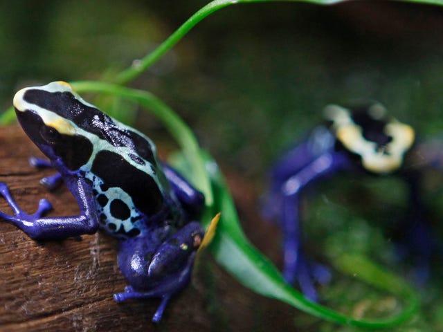 """Une étude alarmante conclut que les grenouilles sont en train de mourir d'une catastrophe """"catastrophique"""""""