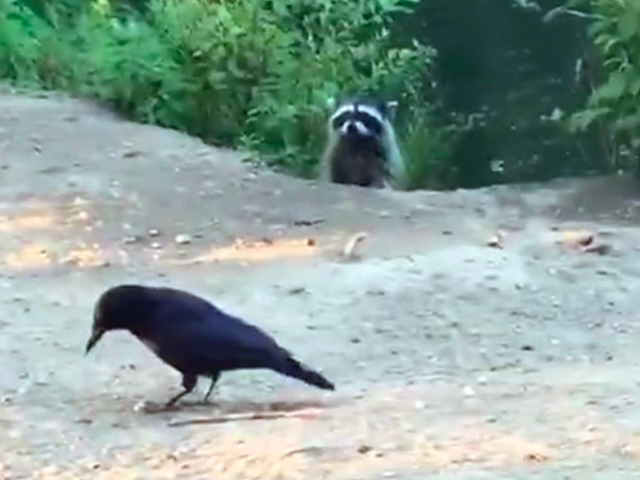 Raccoon Vs. Crow Is the Alien Vs. Predator of Trash Animals