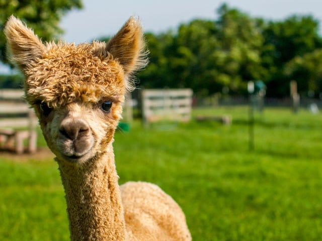 Young alpaca dies after total moron repeatedly feeds it junk food