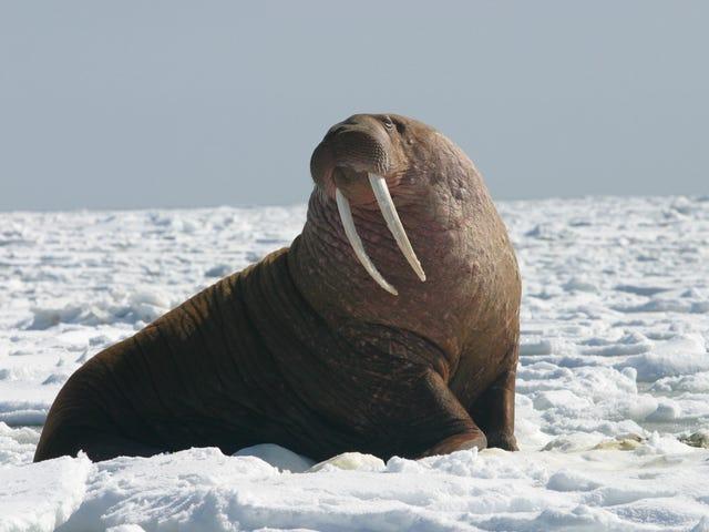 海象攻击并击沉了一支俄罗斯远征队在北极
