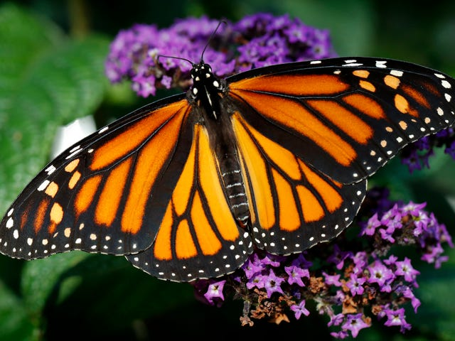 Research Finds California's Monarch Butterfly Population Dropped by 86 Percent Last Year