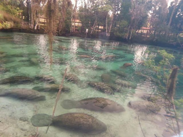 Here's What It Looks Like When 300 Manatees Gather In One Acre