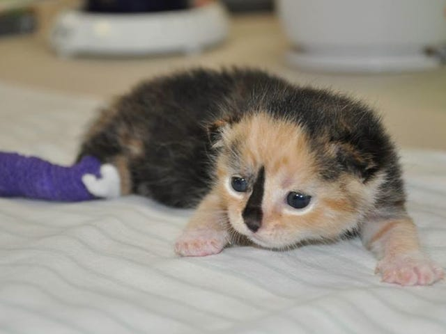 Here's a Kitten Named Sprinkles in a Tiny Purple Cast