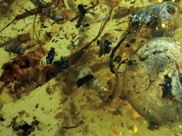 Διάσημο Θυμωμένο Θαλάσσιο Όνειρο Μερικώς Τραυματισμένο σε 99-εκατομμυρίων ετών Ρητίνη Δέντρο